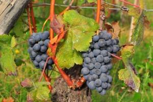 ワインの王様バローロの葡萄