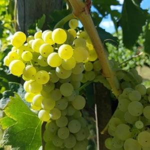 サントステファノの白ワイン用ぶどう、シャルドネ種