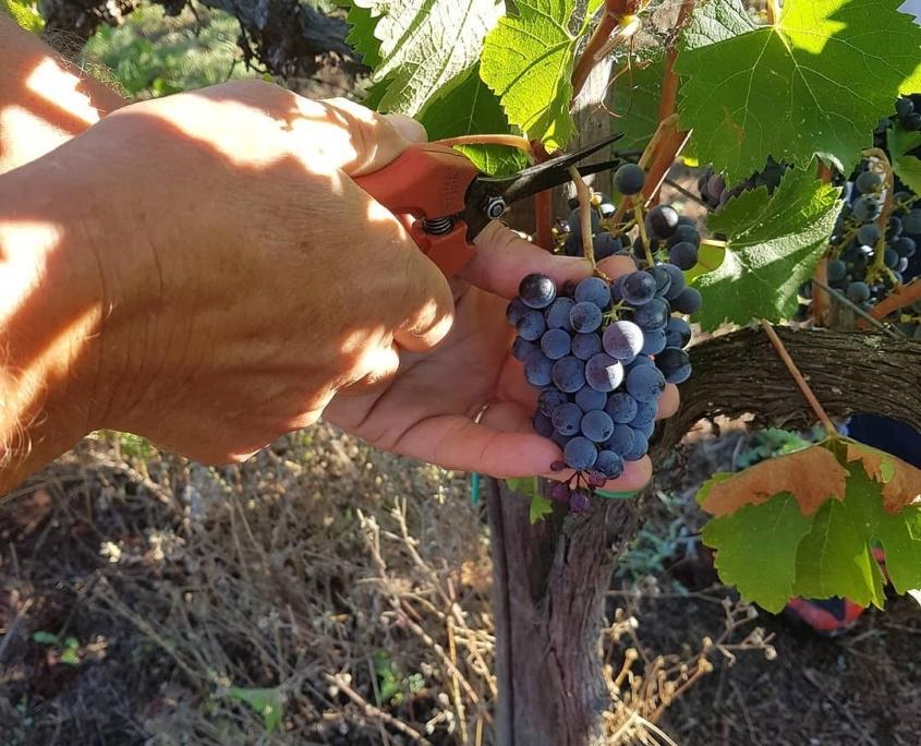 サントステファノの黒ぶどうメルロー種の収穫