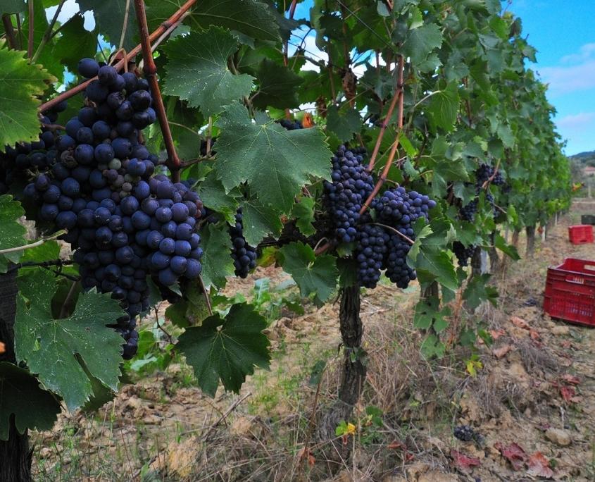 サントステファノのワイン畑