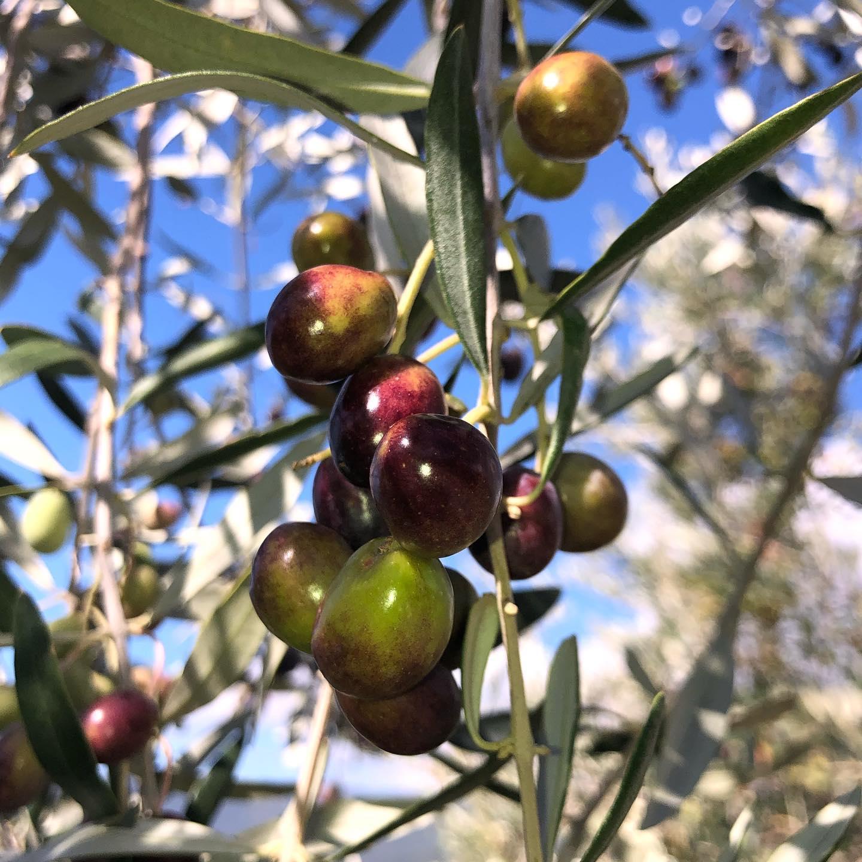 収穫期のオリーヴの実、サント・ステファノ