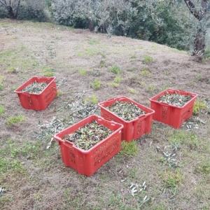 収穫したオリーヴの実、サント・ステファノ