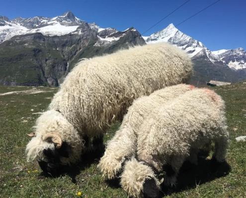 羊シュヴァルツナーゼ