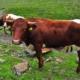 タッシャッハハウス近くの放牧(ピッツタール、チロル)