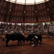 牛突き_隠岐の島