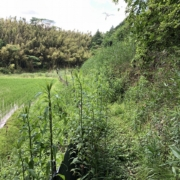 畦道、草刈りされていないところ