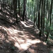 杉林の中を歩きます