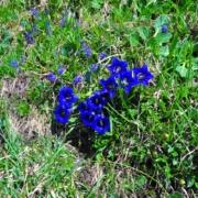 ラングアルムに咲くリンドウ